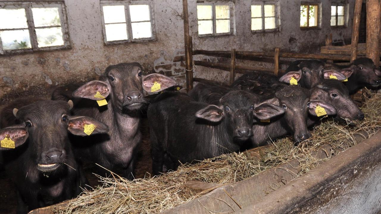 Защо намаляха животновъдните ни ферми със 72%