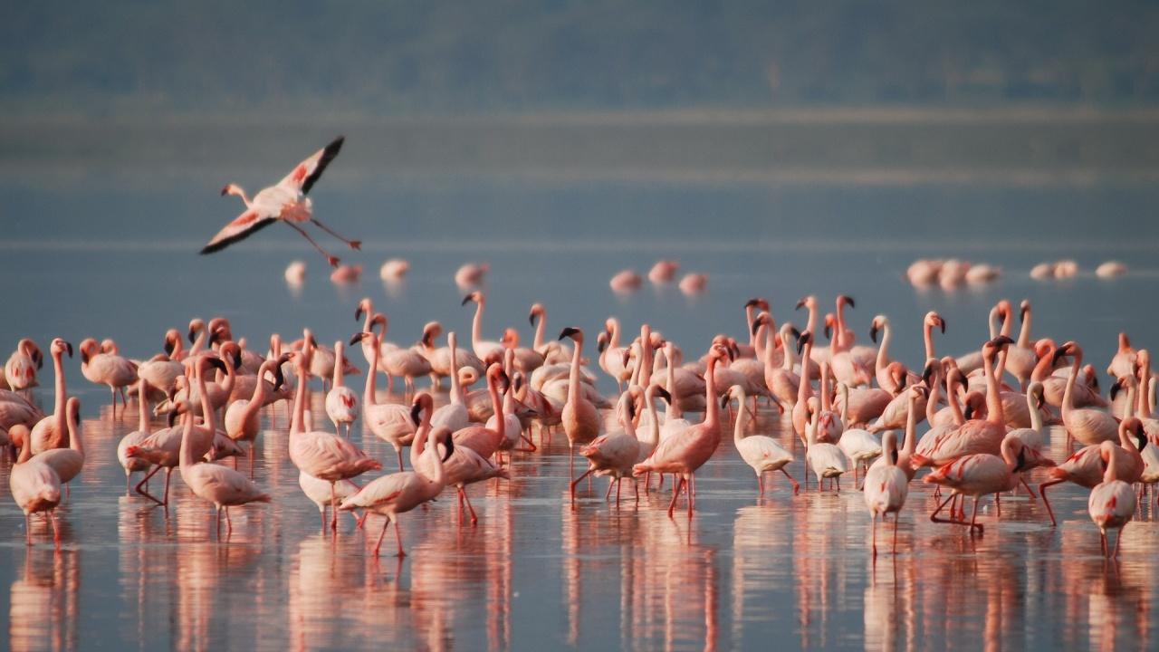 Фламинго все по-често спират в делтата на река Дунав