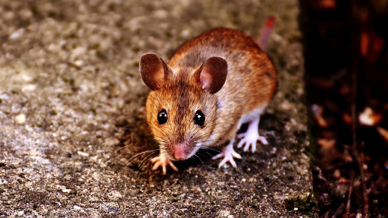 Напаст от мишки тормози земеделци в Австралия
