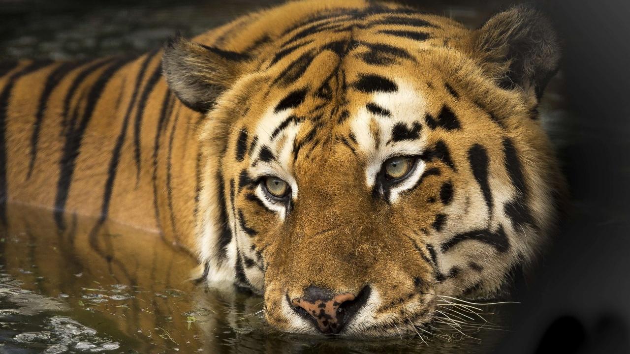 В Бангладеш арестуваха бракониер, убил 70 бенгалски тигри