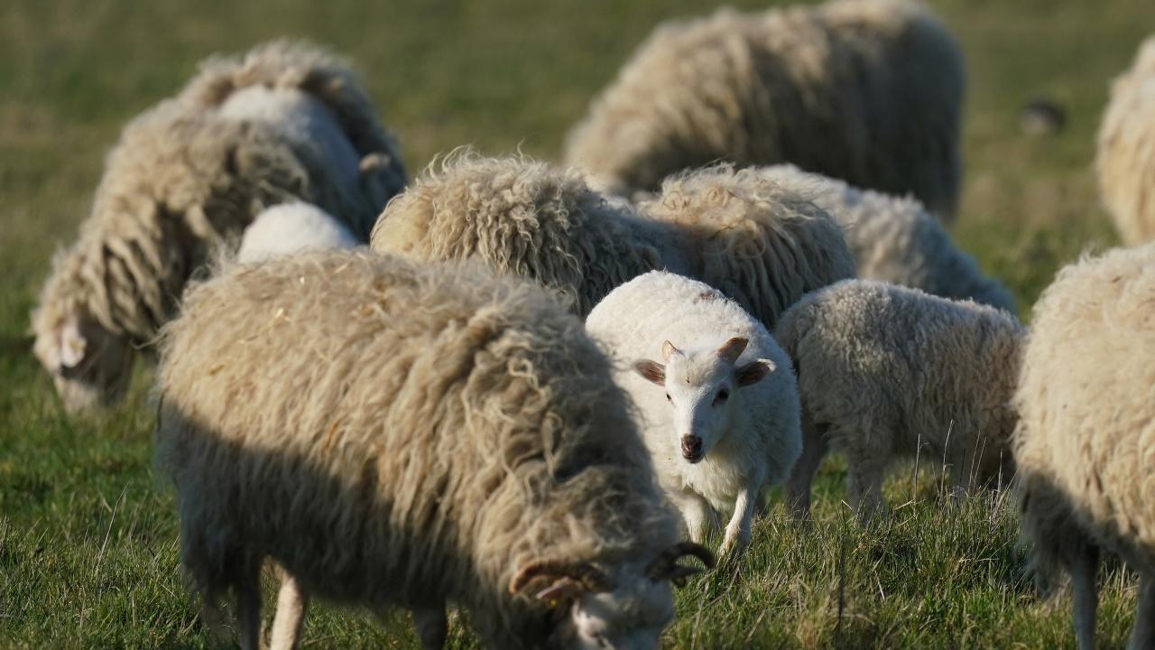 Над 1000 чистопородни животни ще бъдат показани на Националния събор на овцевъдите