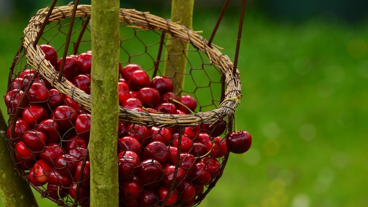 В Кюстендил започна подаването на заявления за разкриване на пунктове за изкупуване на череши