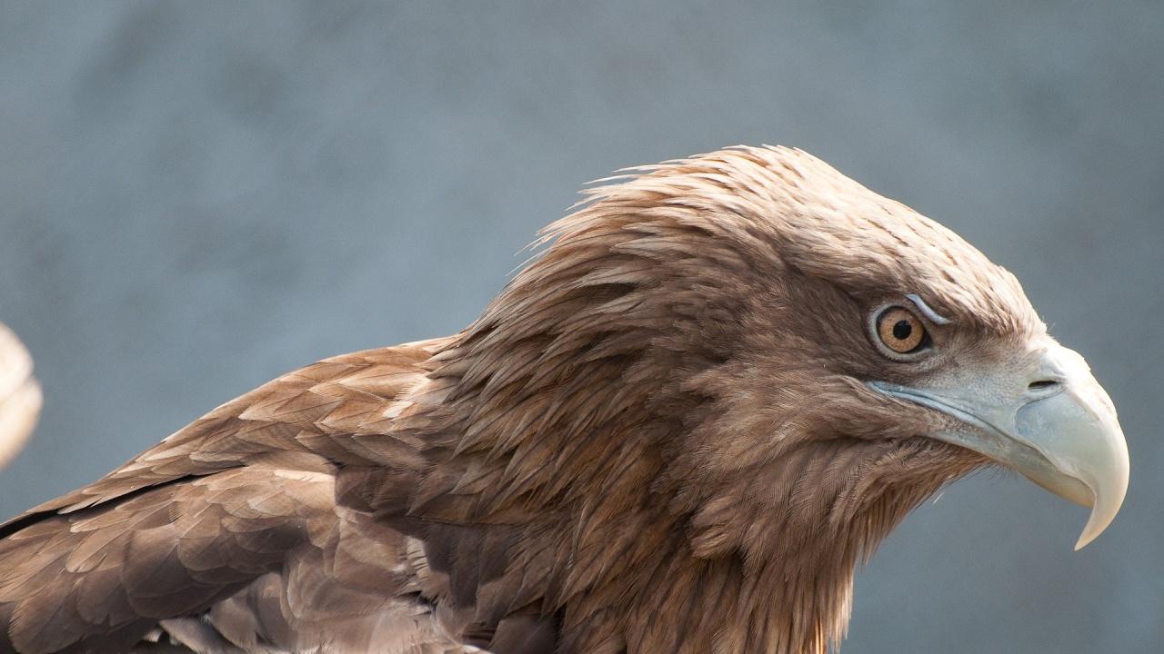 Ветеринари от Бургас спасиха тежко ранен царски орел