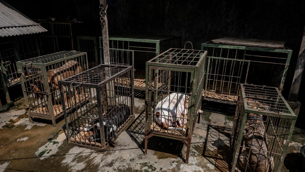 Убиха питбулите, конфискувани от арената на смъртта