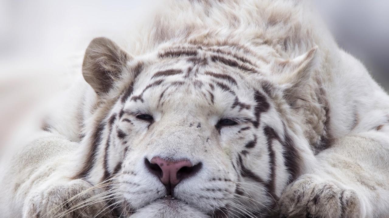 Бяло тигърче се роди в зоопарка в Хавана