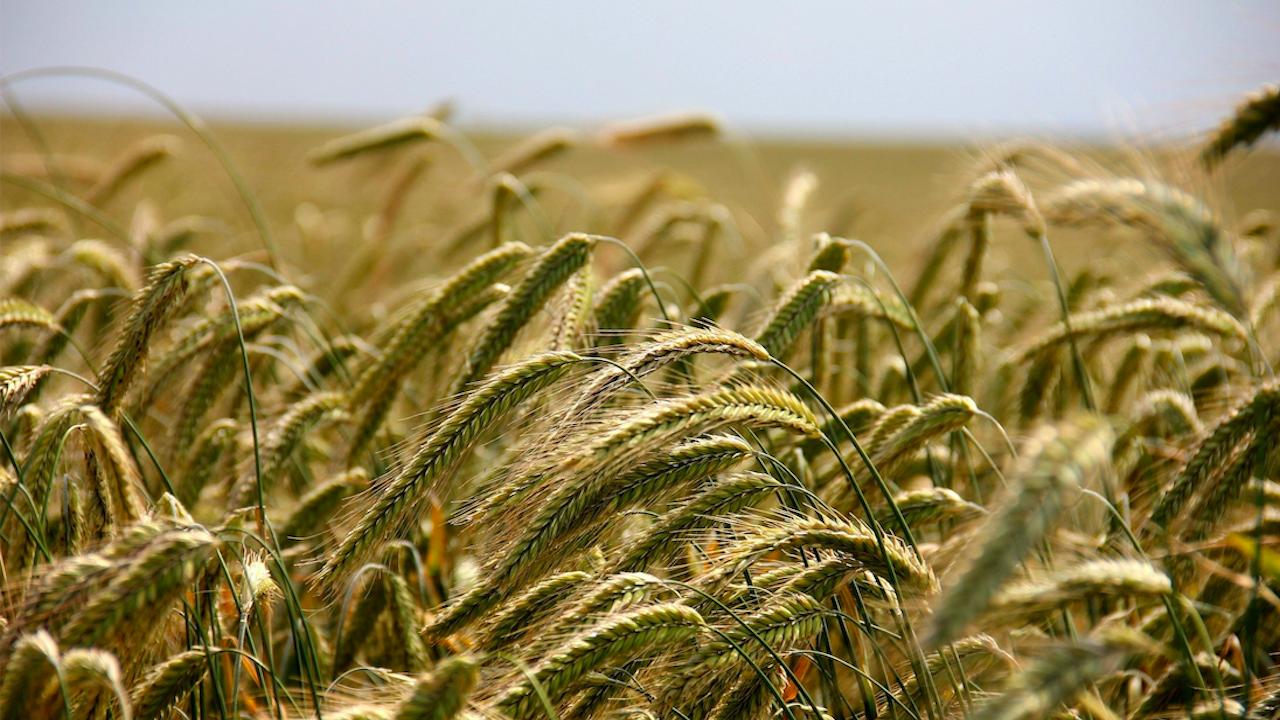 Добиви от над 700 кг от декар пшеница очакват земеделците в област Разград