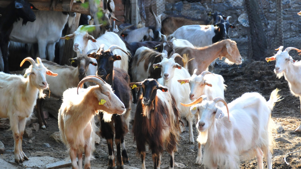 В Болярово вземат повторно кръвни проби за чума по дребните преживни животни