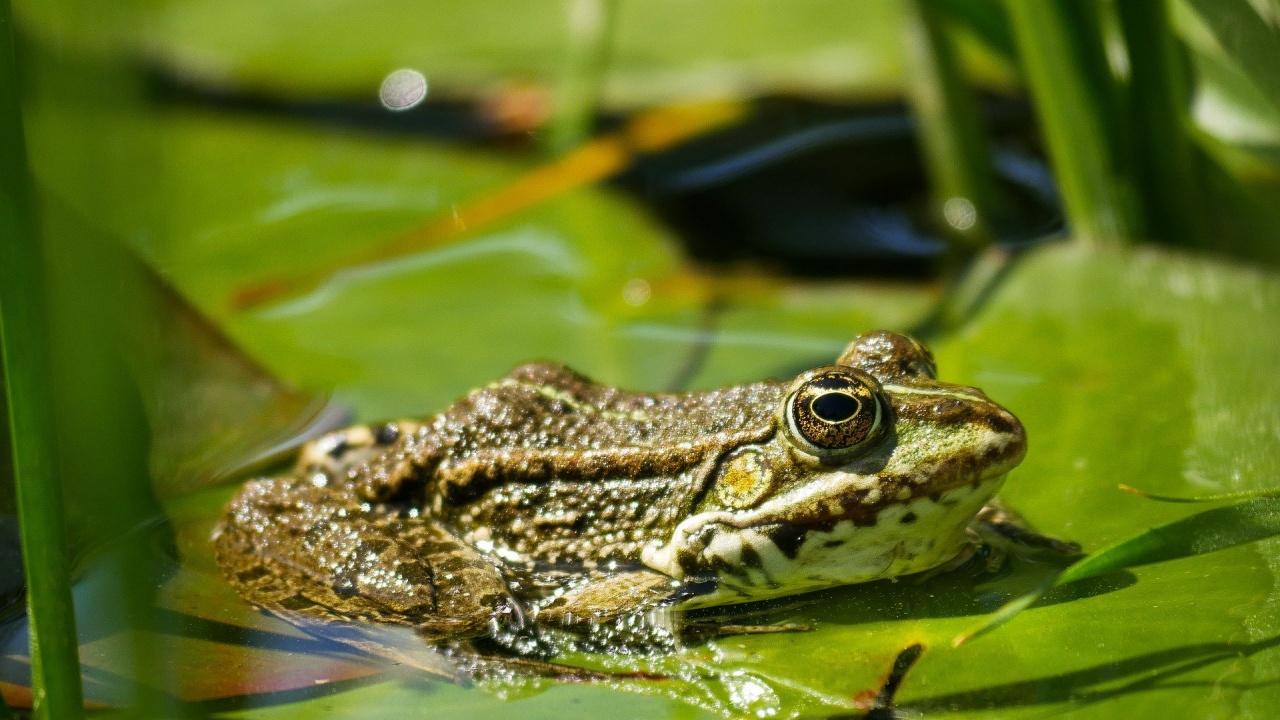 """Новооткрита жаба беше наречена в чест на рок групата """"Лед Цепелин"""""""