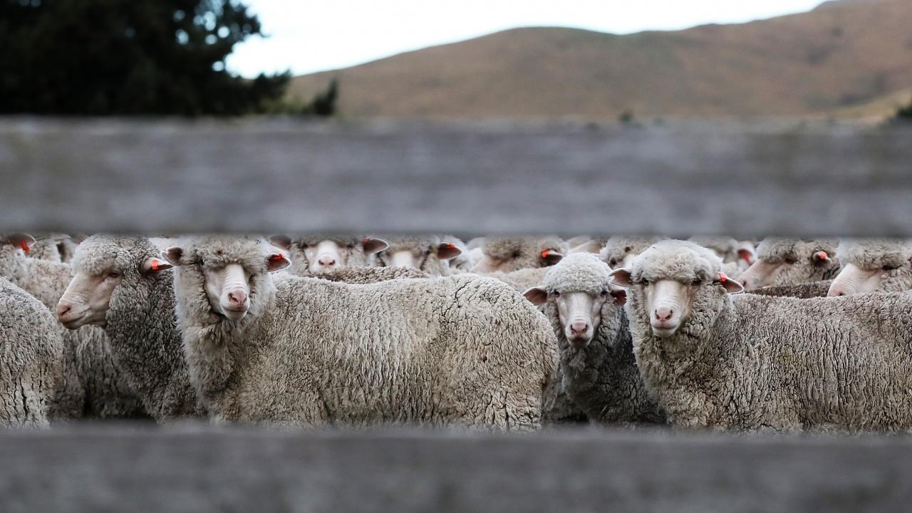 Проф. Иван Станков: Около 20% от козите и овцете са виртуални