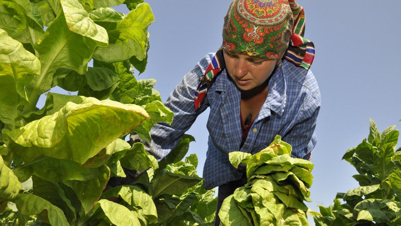 Приключи разсаждането на тютюн реколта 2021 в България, предстои първа беритба