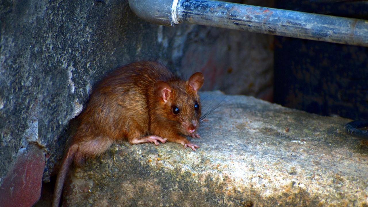 В Австралия евакуират затвор заради нашествие на мишки