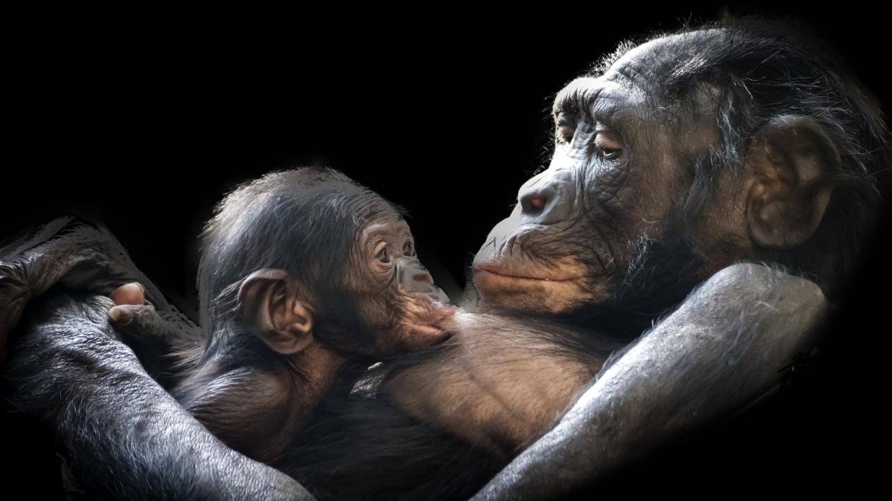 Горила се роди в естествена среда в Габон от двама родители, родени в зоопаркове