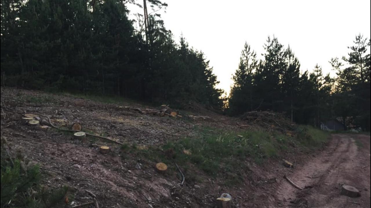 Изсичат боровата гора в землището на с. Боснек