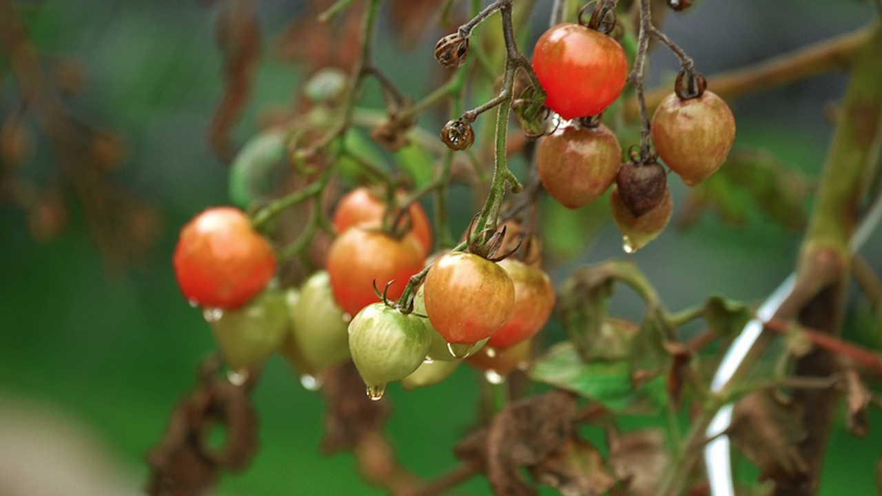 Зеленчукопроизводители в Каварненско пети ден са без вода