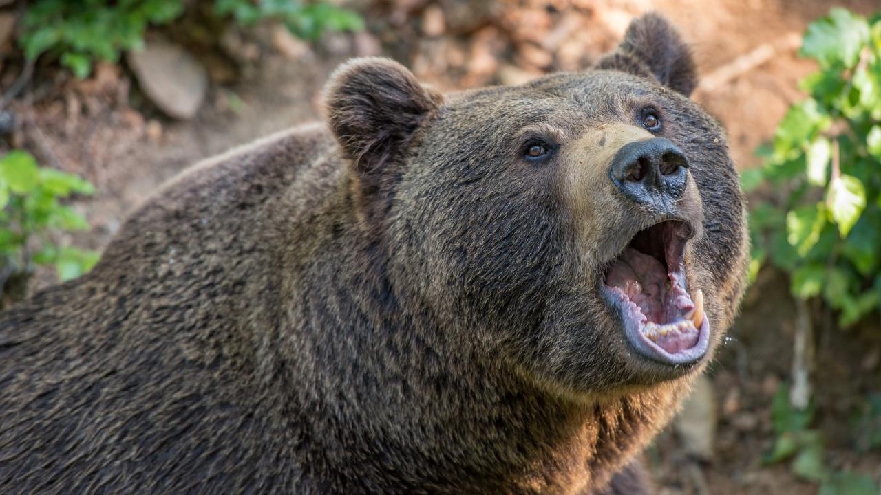 Нахапаната от мечка жена край Белица е с дълбоки рани
