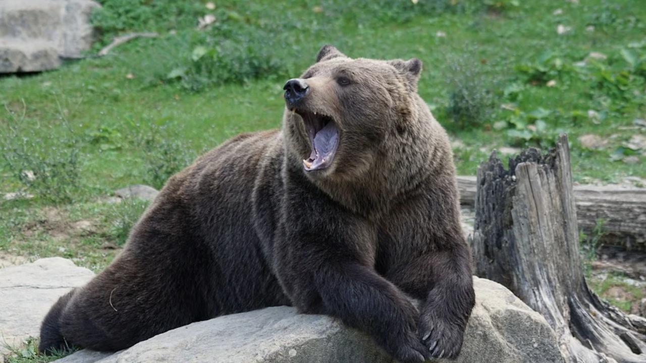 Откриха леговището на мечката, нападнала жена край Белица