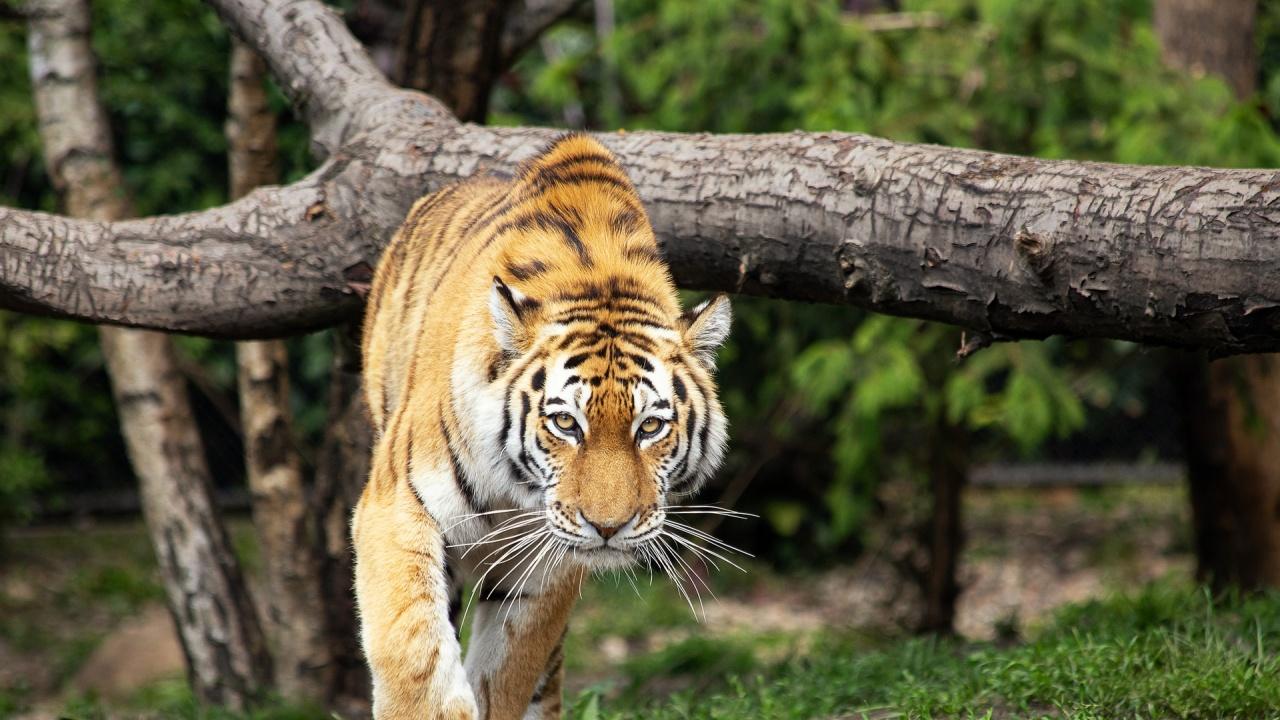 Зоопарк в Калифорния ваксинира животни срещу COVID-19