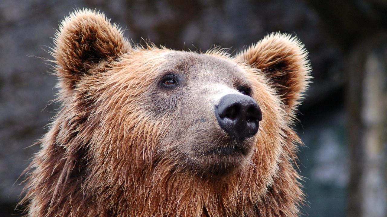 Напрежение между експерти и природозащитници: Каква ще е съдбата на мечката от Белица?