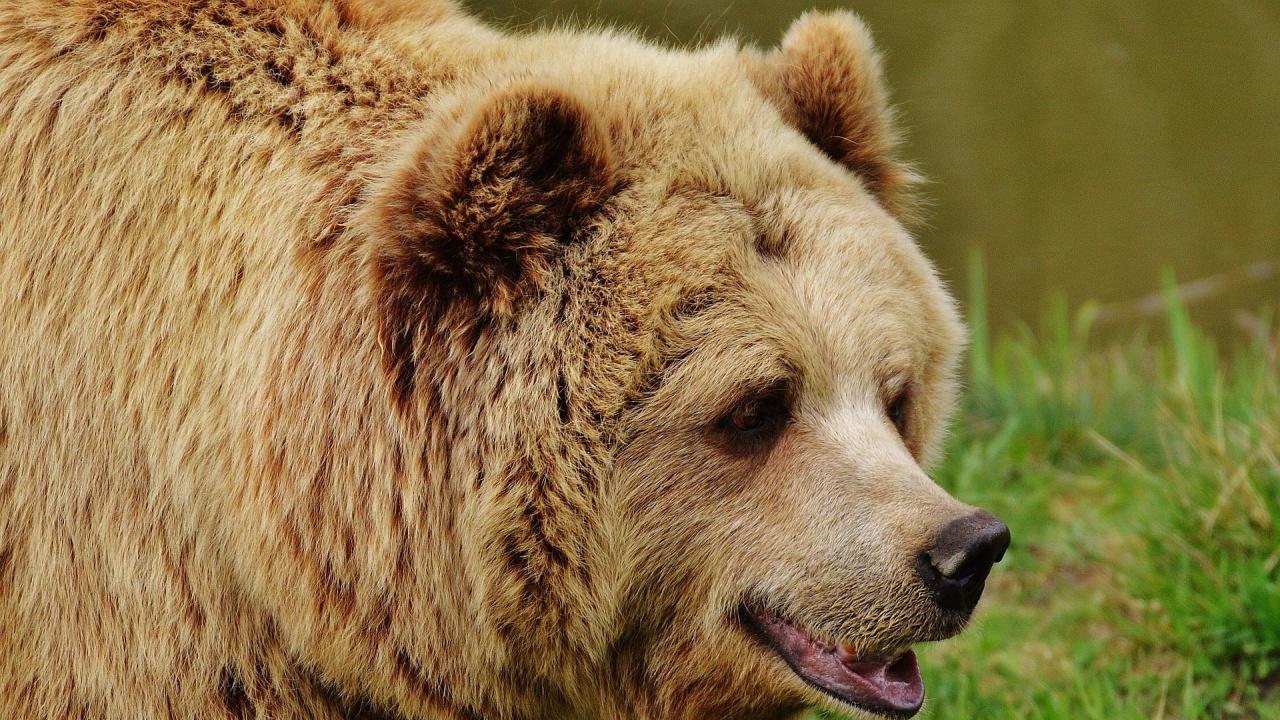 Ръководството на Парка за танцуващи мечки: Твърдо вярваме в ефективното опазване на кафявите мечки