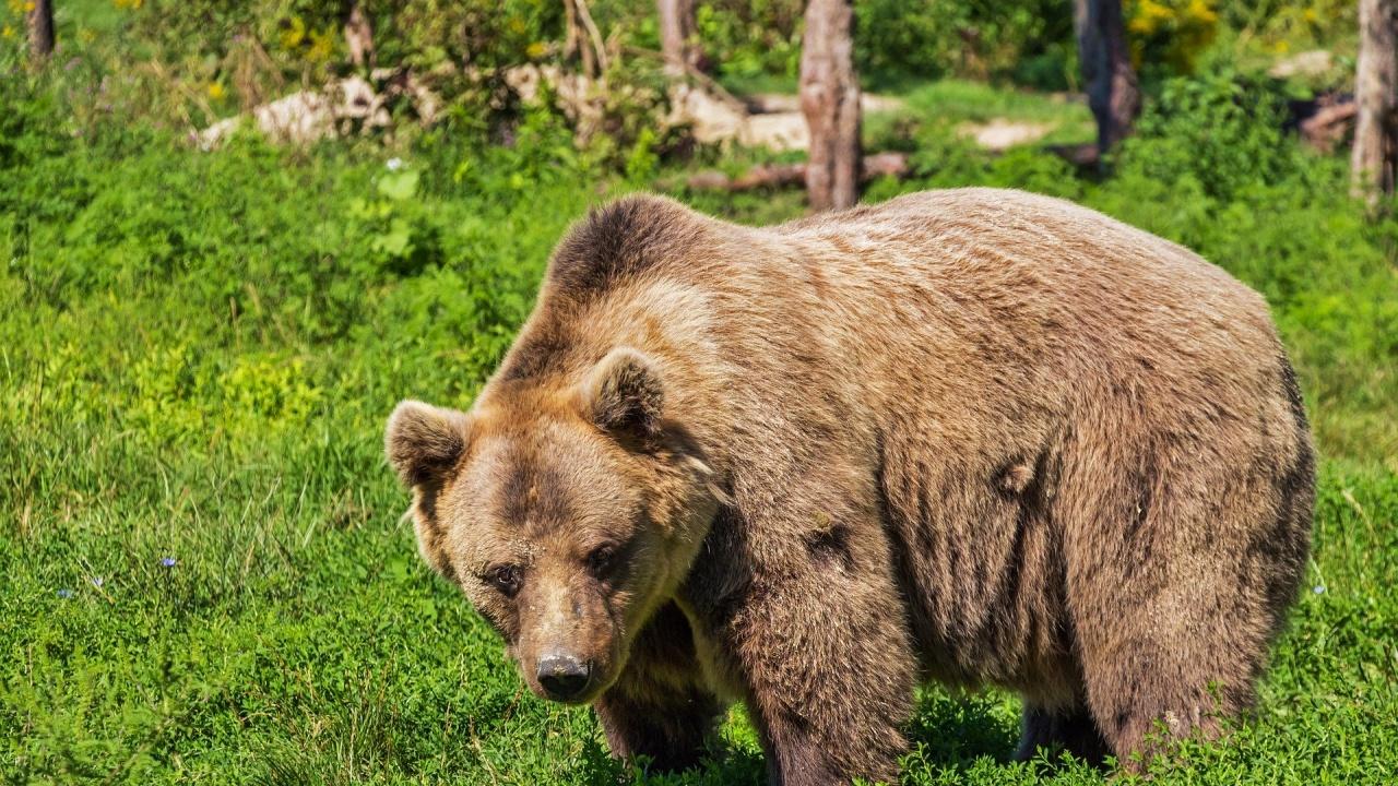 PETA призовава министъра на земеделието, храните и горите да оттегли разрешението за отстрел на мечката от Белица