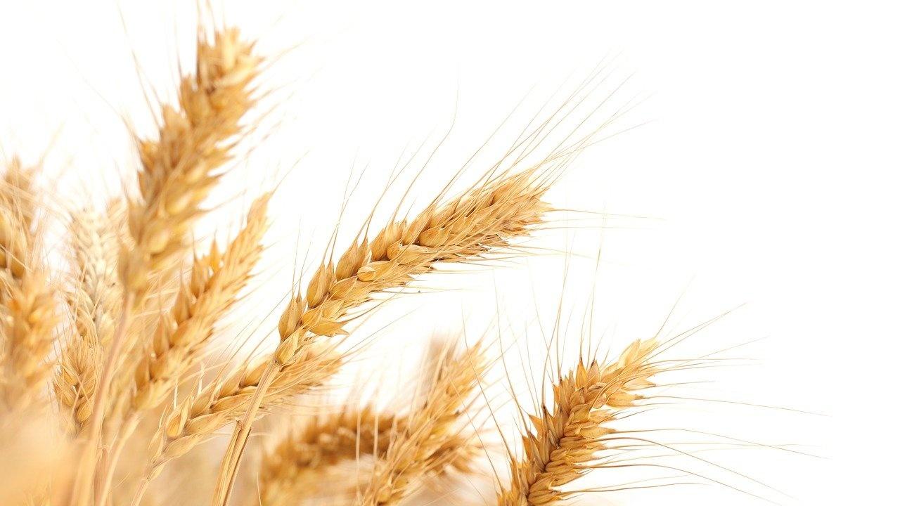 Падат изкупните цени на пшеницата