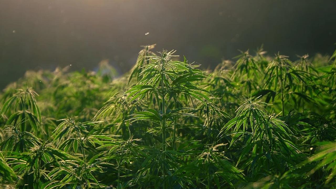 Над 2000 растения канабис са открити в нарколаборатория в Троян