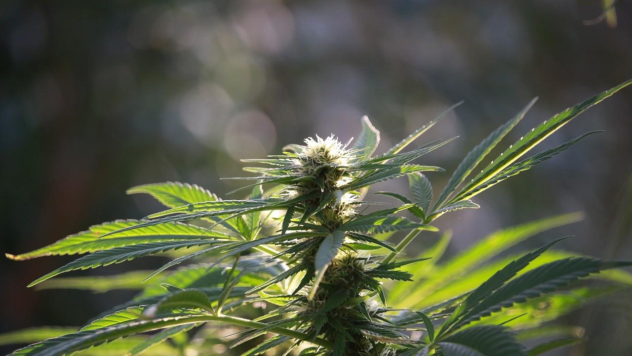Унищожиха 108 кг марихуана в Благоеврадско