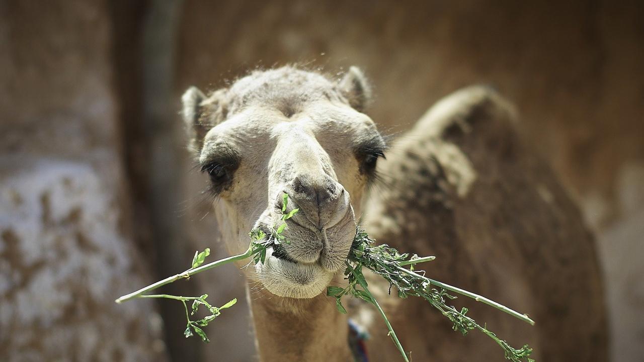 Софийският зоопарк води преговори за камили