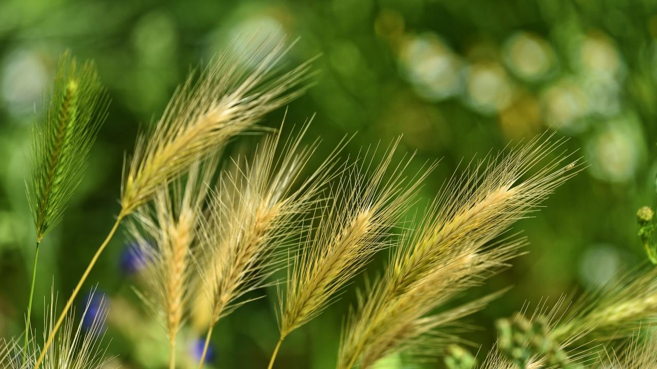 Плевелите ще дразнят чувствителните към полени