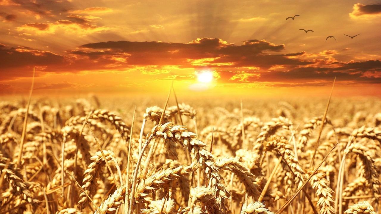 Отчитат 55-процентен ръст на добива на пшеница