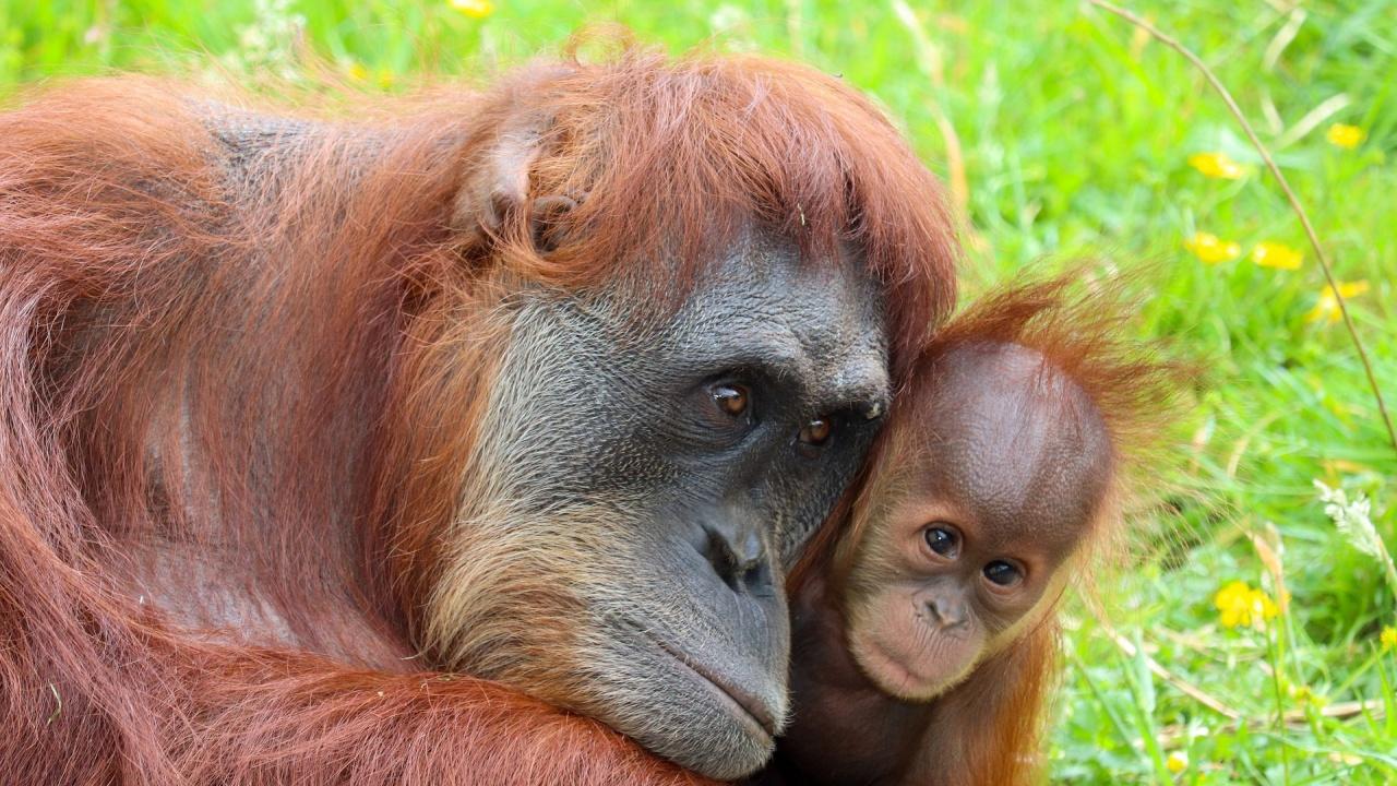 Бебе от критично застрашен вид орангутан се роди в зоопарк в Израел