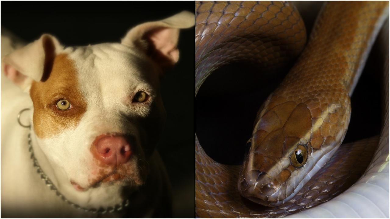 Питбул загина след ухапване от змия, за да предпази деца