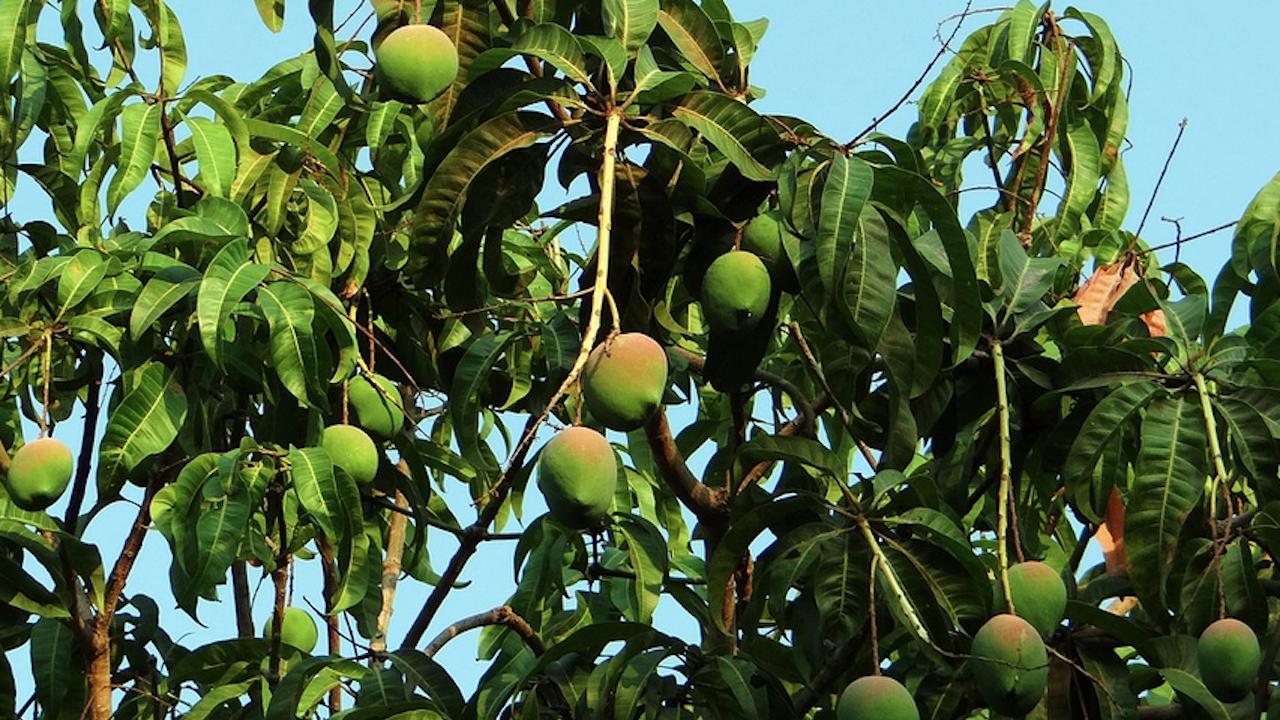 """Заради климатичните аномалии пострада и плодовото """"чудо"""" на Египет"""
