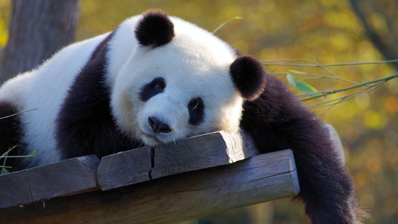 Панди близнаци се появиха на бял свят в зоопарк във Франция