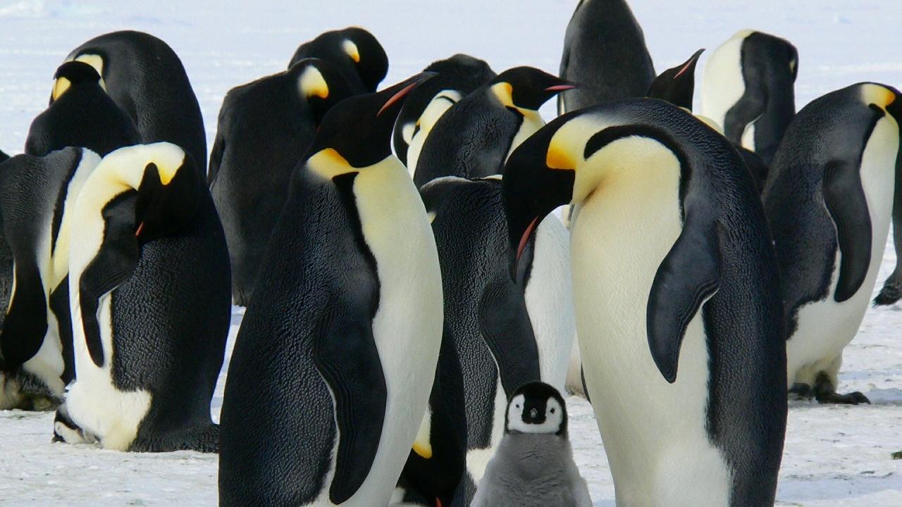 Топенето на леда ще застраши 98% от колониите на императорски пингвини до 2100 г.