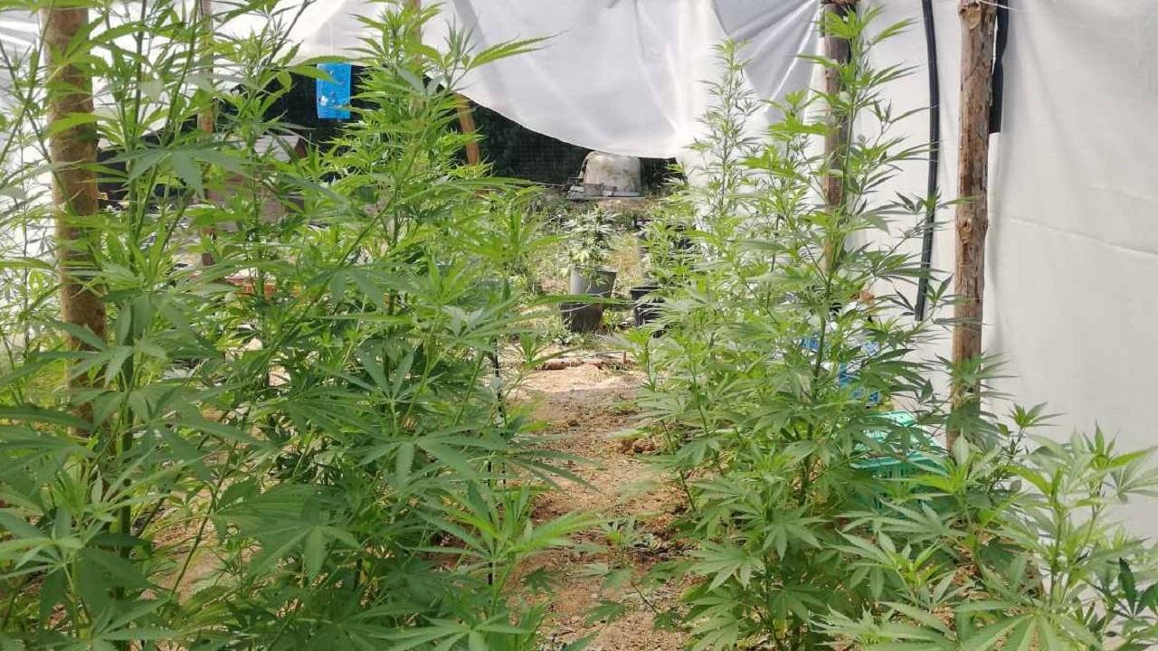 Разбиха оранжерия за марихуана във ферма за охлюви