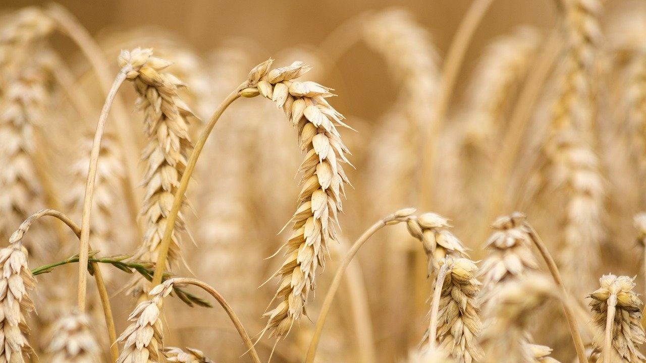 Средният добив от пшеницата в Пернишка област е 398 кг/дка при 93 на сто реколтирани площи