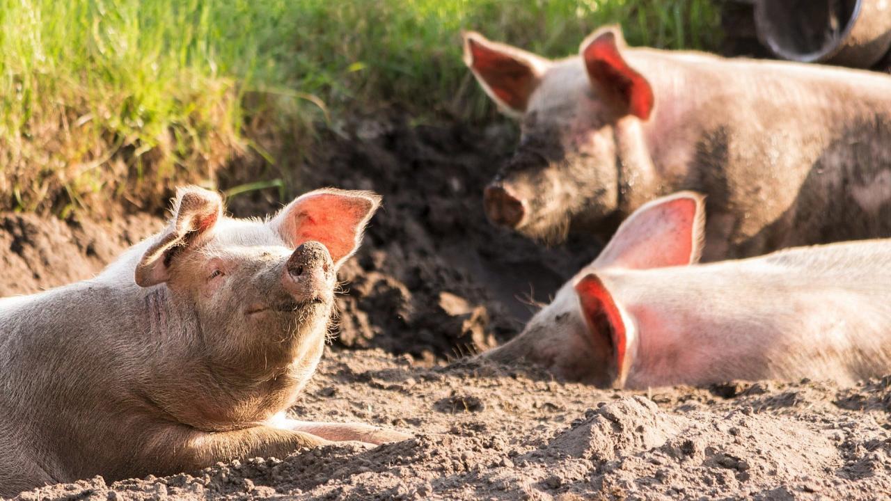 Откриха ново огнище на Африканска чума по свинете във фамилна ферма в с. Сбор
