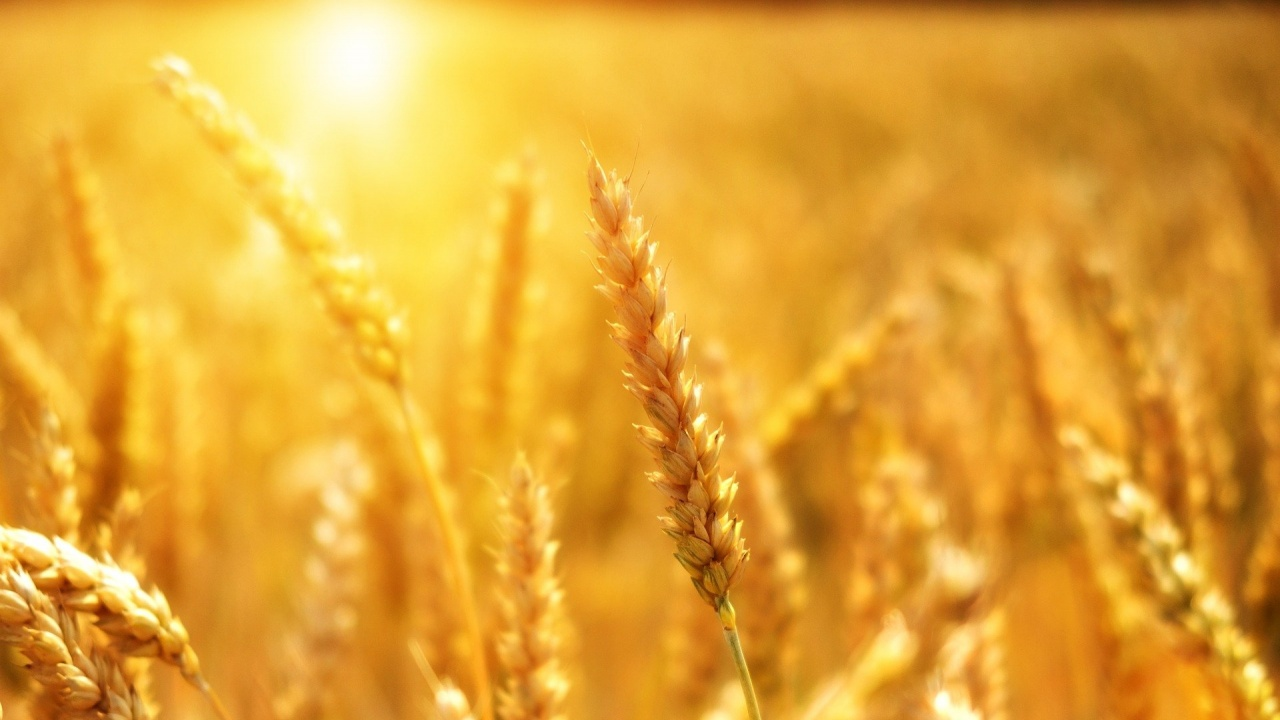 Тазгодишната реколта от пшеница е рекордна за страната