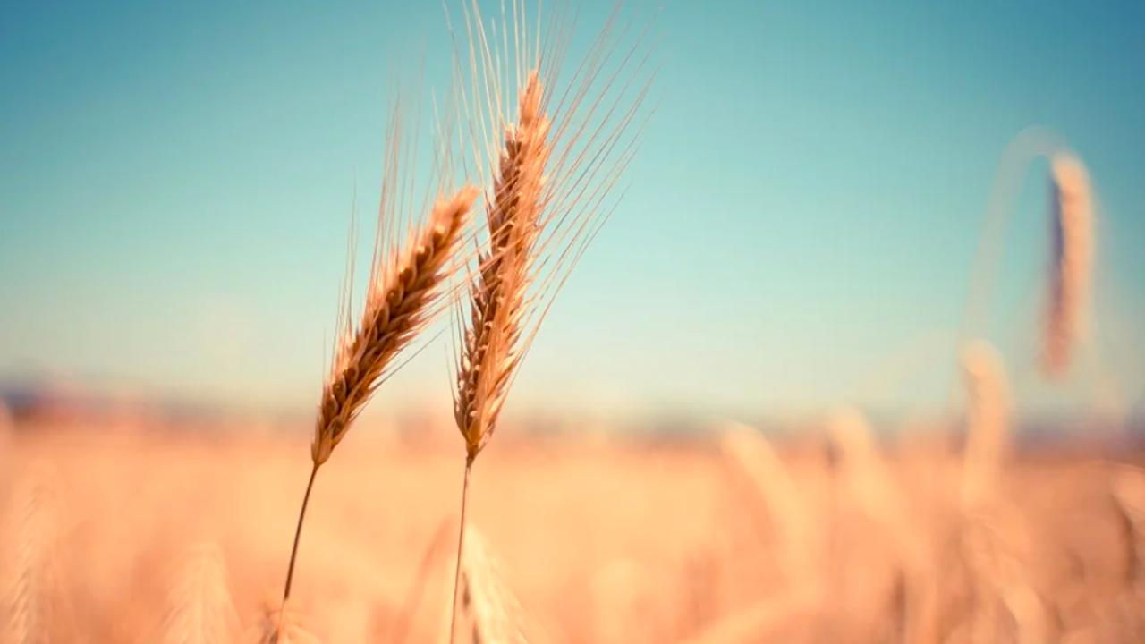 С добри добиви завърши жътвата на есенните култури в област Разград