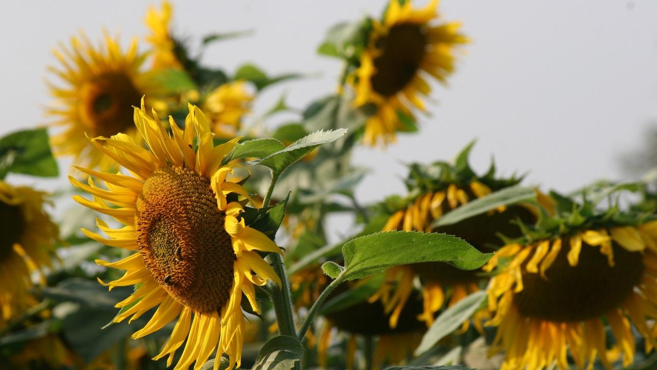 Добивът от маслодайния слънчоглед в Добричка област достигна 309 килограма