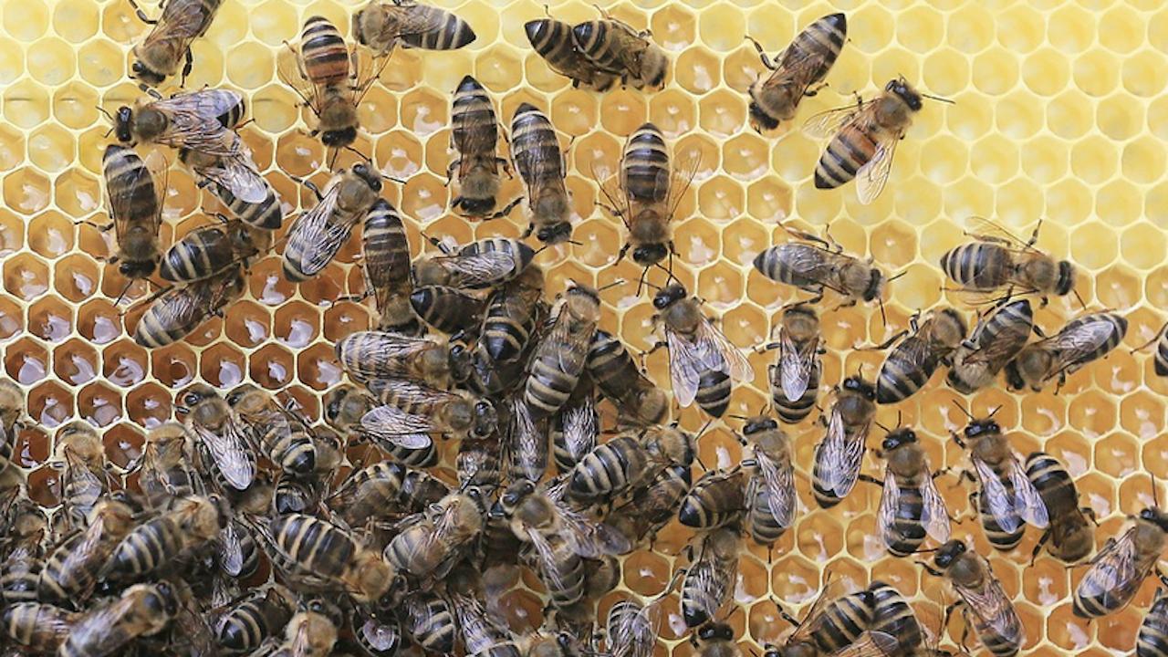 Медът поскъпна заради мора по пчелите и синдрома на празния кошер