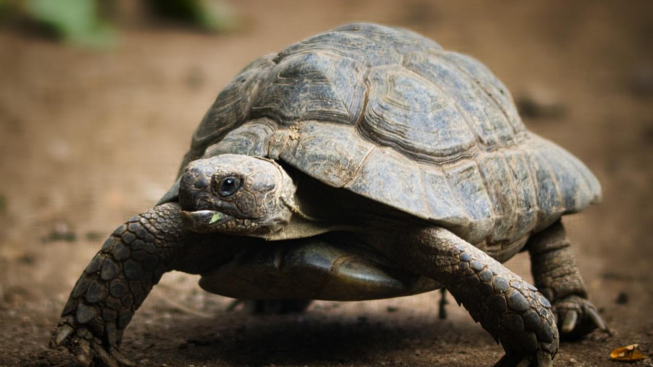 """Шипоопашата костенурка, пострадала при горски пожар в Рила, е на лечение при """"Дивите животни"""""""