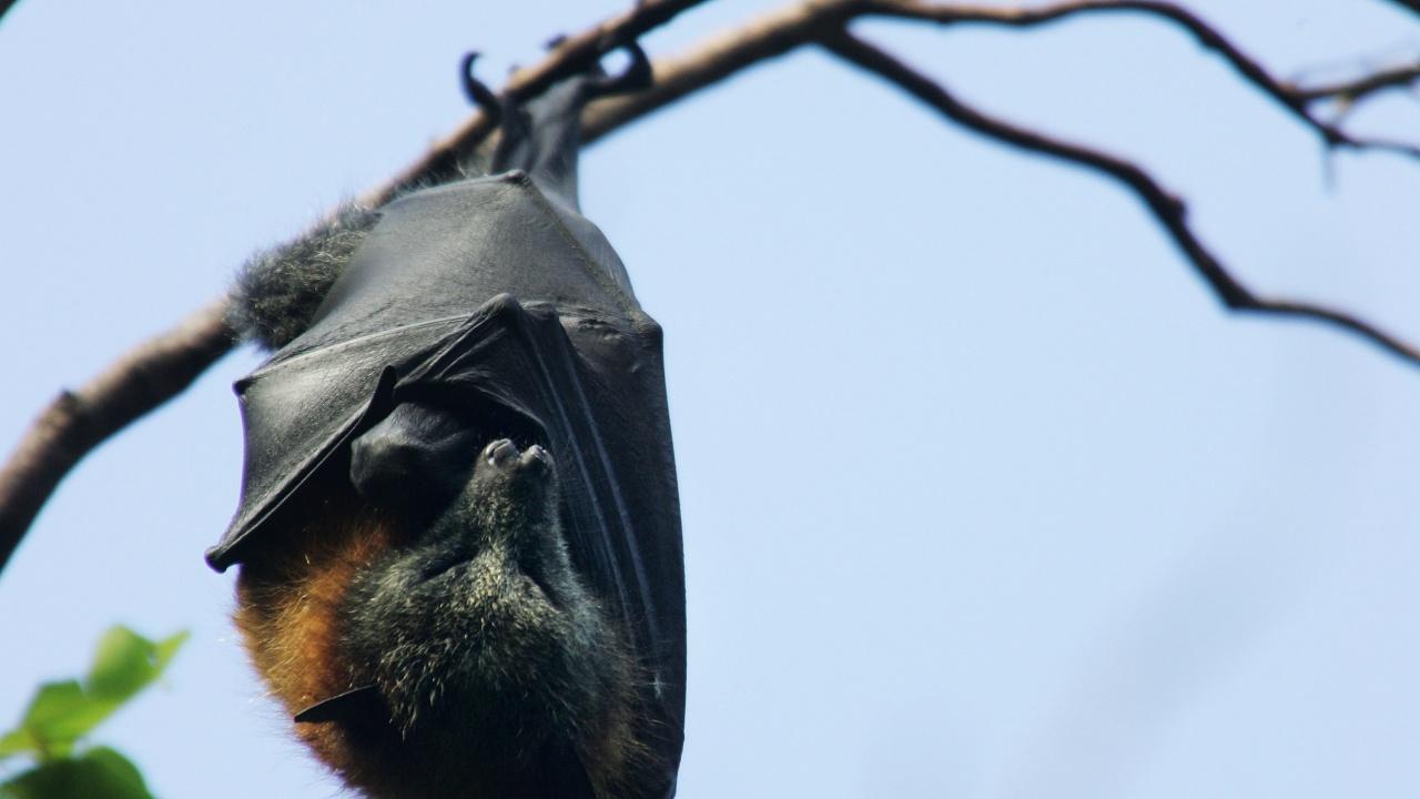 Изследователи на прилепи търсят произхода на COVID-19 в Камбоджа
