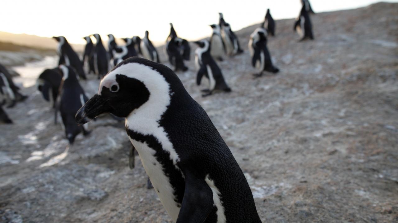 Пчели убиха 64 пингвина в Кейптаун
