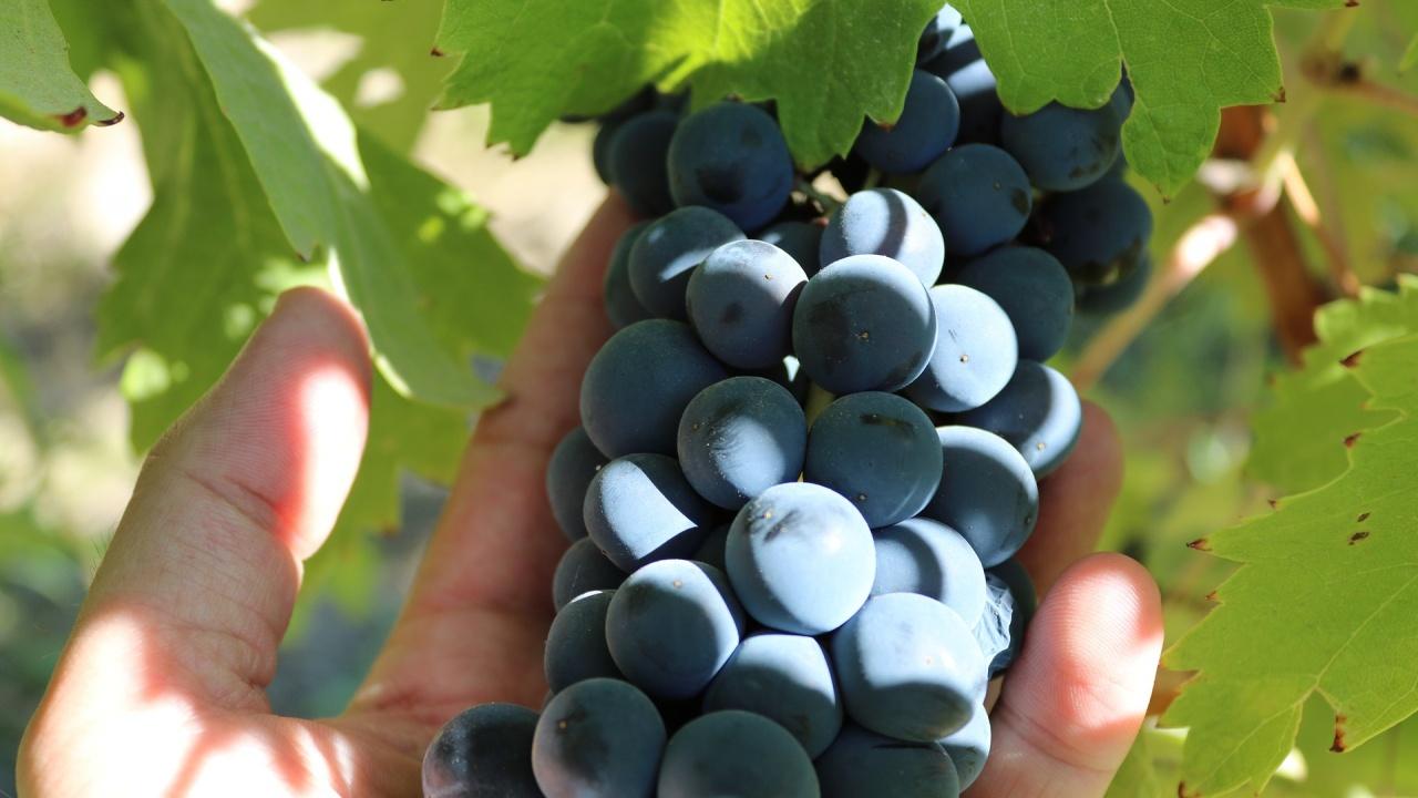 Разбиха френско-българска мрежа за нелегални гроздоберачи