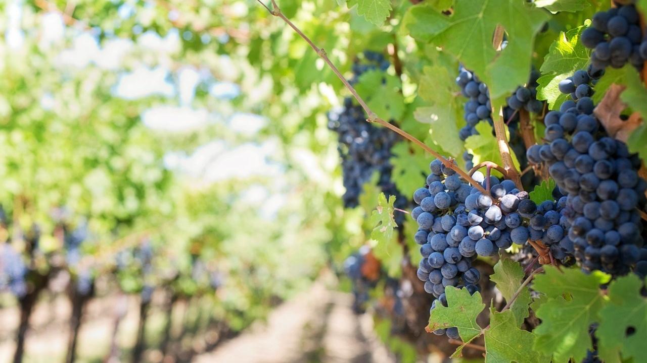 По-високи добиви на грозде отчитат стопаните в Сливенско