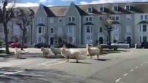 Кози превзеха британски град