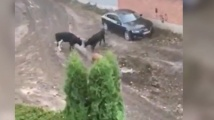 Бикове гонят хора и чупят коли в столичния кв. Лозенец