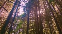 Единствената в България гора от секвои е близо до село Богослов